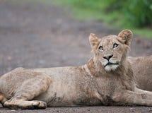 León masculino joven en la lluvia en el arbusto africano Fotografía de archivo libre de regalías