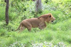 León masculino joven que camina en la hierba imagen de archivo