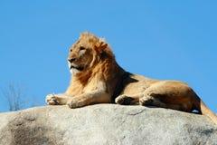 León masculino joven que descansa en una roca Foto de archivo libre de regalías