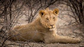 León masculino joven que toma la cubierta por debajo arbustos en Namibia Fotografía de archivo