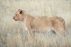 León masculino juvenil Fotos de archivo libres de regalías