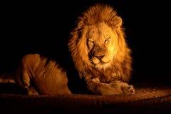 León masculino magnífico Fotos de archivo libres de regalías