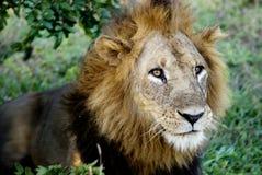 León masculino marcado con una cicatriz Foto de archivo