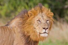 León masculino (panthera de leo) Imagen de archivo libre de regalías