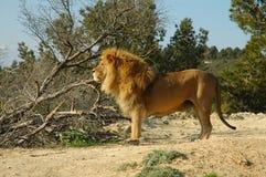 León masculino (Panthera leo) Fotografía de archivo