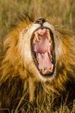 León masculino que bosteza en el Masai Mara Imagenes de archivo