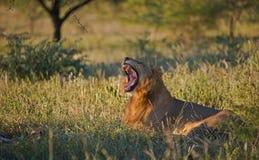 León masculino que bosteza en el parque de Kruger, Suráfrica Imagen de archivo libre de regalías