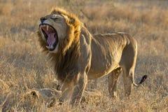 León masculino que bosteza, Suráfrica Imagen de archivo