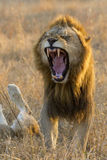 León masculino que bosteza, Suráfrica Imagen de archivo libre de regalías