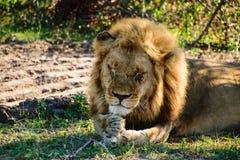 León masculino que descansa a su cabeza cansada en sus patas Fotografía de archivo