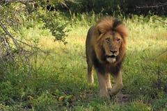León masculino que emerge del cepillo Imagen de archivo libre de regalías