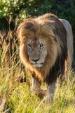 León masculino que está al acecho a través de la hierba Fotos de archivo libres de regalías