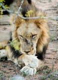 León masculino que lame sus heridas Imágenes de archivo libres de regalías