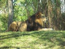 León masculino que miente en hierba Imagen de archivo libre de regalías