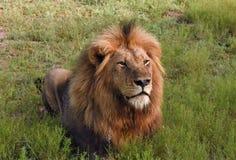 León masculino que miente en la hierba Fotos de archivo libres de regalías