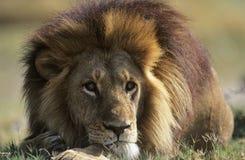 León masculino que miente en sabana Fotos de archivo