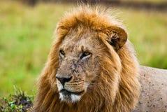 León masculino que mira adelante Imagenes de archivo
