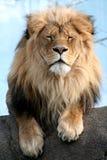 León masculino que parece molestado imagenes de archivo