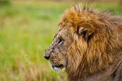 León masculino que parece sideway imagen de archivo