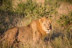León masculino que se coloca en hierba alta fotos de archivo