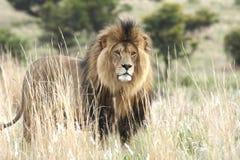 León masculino que se coloca en prado fotos de archivo libres de regalías