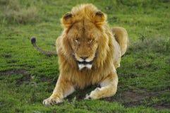 León masculino que se reclina en la hierba verde, cráter de Ngorogoro Imágenes de archivo libres de regalías