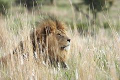 León masculino que se reclina en prado Foto de archivo libre de regalías