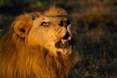 León masculino real que ruge en el yermo africano Fotos de archivo
