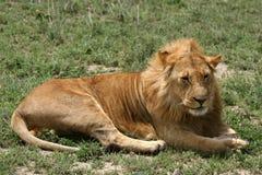 León masculino - safari de Serengeti, Tanzania, África fotos de archivo