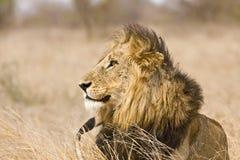 León masculino salvaje, parque nacional de Kruger, Suráfrica Imagen de archivo