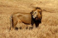 León masculino soplado por el viento Fotos de archivo libres de regalías