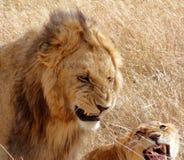 León masculino y femenino en Masai Mara. Fotos de archivo libres de regalías