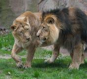 León masculino y femenino que camina junto Imagen de archivo libre de regalías