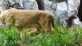 León masculino y femenino que descansa en una hierba almacen de video