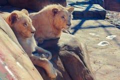 León masculino y femenino que se sienta en una roca imagen de archivo