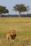 León masculino, Zimbabwe, parque nacional de Hwange Foto de archivo