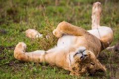 León medio dormido foto de archivo
