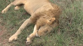 León muerto en la sabana almacen de metraje de vídeo