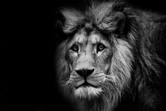 León oscuro blanco y negro del cartel con cierre del extremo para arriba foto de archivo libre de regalías