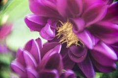 León púrpura foto de archivo