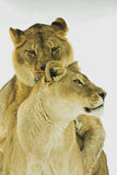 León/Panthera leo fotos de archivo