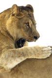 León/Panthera leo foto de archivo