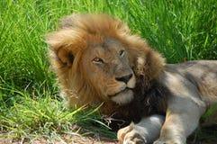 León (Panthera leo) fotografía de archivo