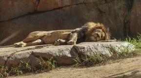 León, Panthera leo Fotografía de archivo libre de regalías