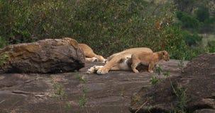 León, panthera leo, el dormir y Cub africanos, Masai Mara Park de la madre en Kenia, almacen de video