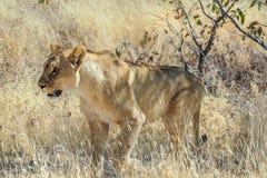 León, Panthera leo en el parque nacional de Etosha, Namibia foto de archivo