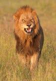 León (panthera leo) en sabana Imagen de archivo