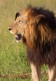 León (panthera leo) en sabana Fotos de archivo