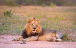 León (panthera leo) en sabana Foto de archivo libre de regalías
