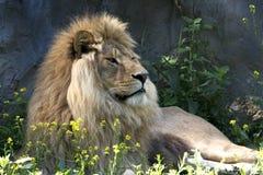 León/Panthera leo leo imagenes de archivo